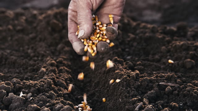 slo mo farmer's hand sowing seeds - corn cob stock videos & royalty-free footage