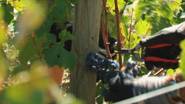 cu farmer's hands cutting grapes in vineyard / bordeaux, gironde, france - gardening glove stock videos & royalty-free footage