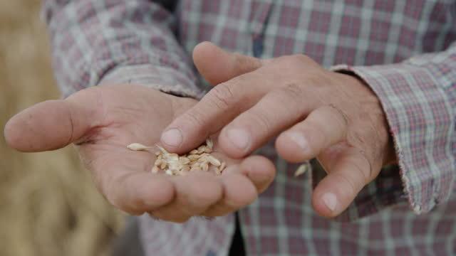 片手からもう一方の手に小麦粒を落とす農夫の手。 - 道を譲る点の映像素材/bロール