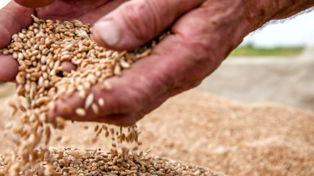cu farmer's hands examining wheat grains - wheat stock videos & royalty-free footage