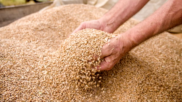 SLO MO Farmer's Hands Examining Wheat Grains