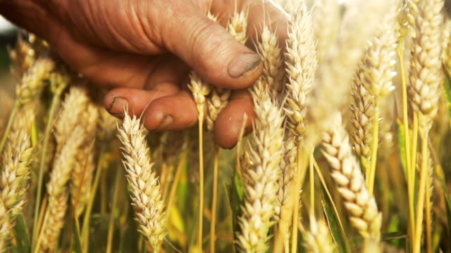 hd super slow mo: farmer's hands examining wheat - ear of wheat stock videos and b-roll footage