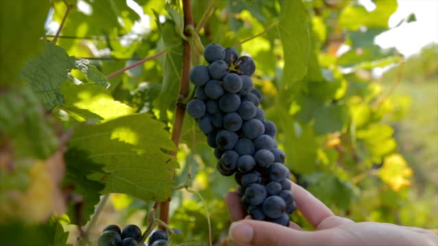 farmers hands holding and cutting red grape from the vines during wine harvest - grape stock videos & royalty-free footage
