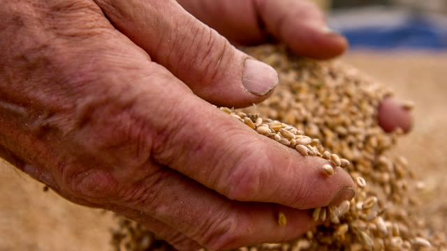 slo mo farmer's hands holding wheat grains - barley stock videos and b-roll footage