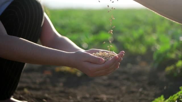 vidéos et rushes de mains de fermier avec des grains de blé - graine