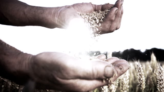 HD SUPER SLOW MO: Farmer's Hands With Wheat Grains