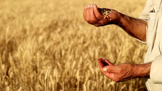 hd super slow mo: farmer's hands with wheat grains - wholegrain stock videos & royalty-free footage