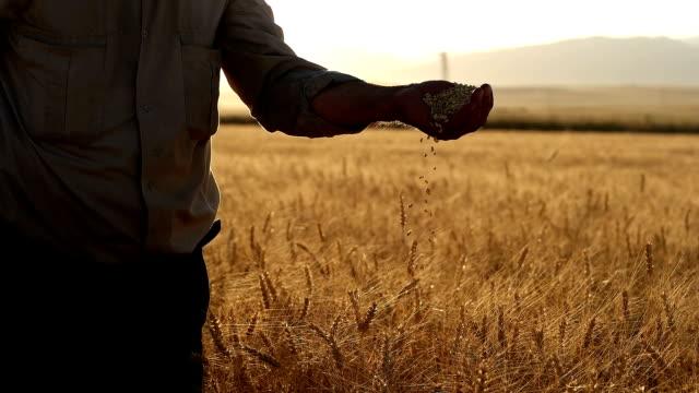 hd 超低速の月:農家の手穀物、小麦 - 種点の映像素材/bロール