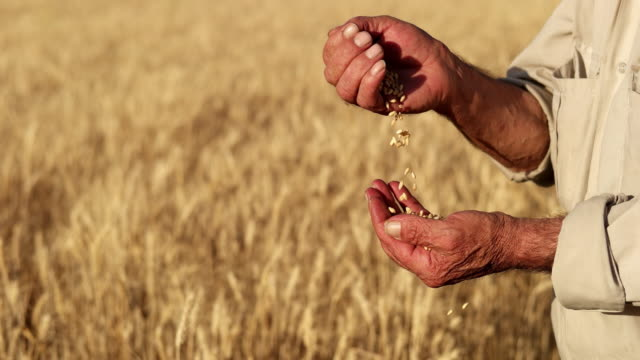 vídeos de stock e filmes b-roll de farmer's hands with wheat grains - semente
