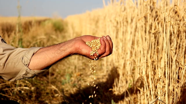 vídeos de stock e filmes b-roll de hd super slow mo: farmer's hands with wheat grains - caule de planta