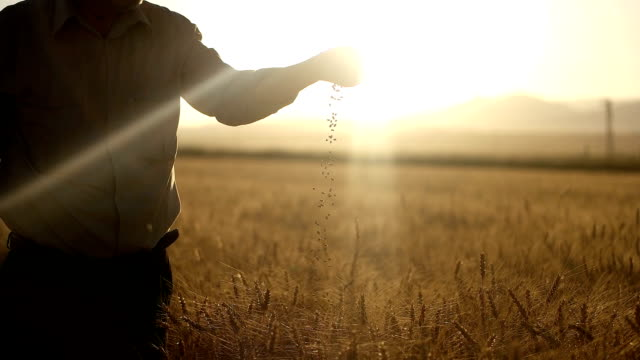 hd super slow mo: farmer's hands with wheat grains - cereal plant video stock e b–roll