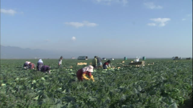 Farmers harvest a cabbage in the reclaimed land in Isahaya