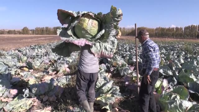 farmers harvest giant cabbage in a field in burunoren village of turkey's central yozgat province on october 28 2019 interviews with farmers ibrahim... - middle east stock videos & royalty-free footage