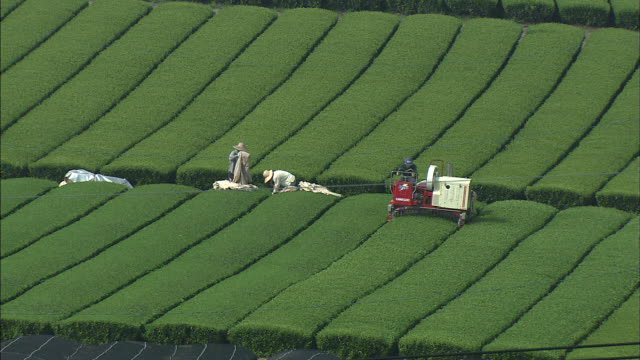Farmers harvest tea in a field.