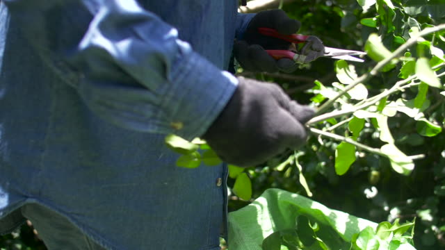 farmers harvesting bergamot.