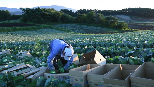 farmers harvesting cabbage before and after sunset at farm in tsumagoi, gunma, japan, on tuesday, august 11, 2020. - vegetable stock videos & royalty-free footage