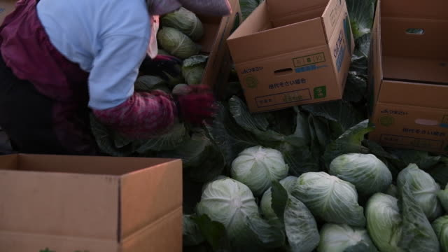 farmers harvesting cabbage before and after sunset at farm in tsumagoi gunma japan on tuesday august 11 2020 - crucifers stock videos & royalty-free footage