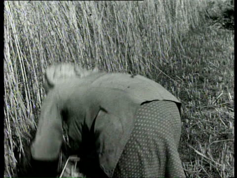 1940 b/w farmers harvesting corn, young women farmers smiling for the camera / netherlands - cereal plant stock videos & royalty-free footage