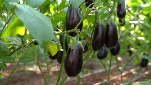 farmers harvesting eggplant in eggplant greenhouse, close up view, 4k video - raw footage stock videos & royalty-free footage