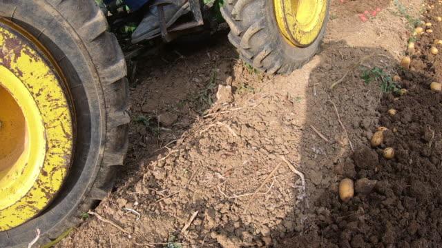 vidéos et rushes de agriculteurs récoltant la pomme de terre biologique cultivée à la maison - pomme de terre rouge