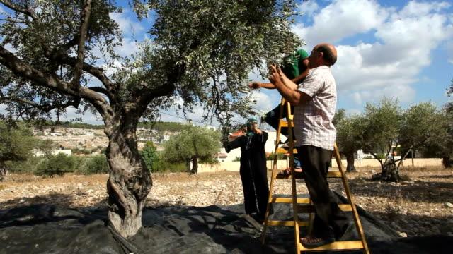 farmers harvesting olives, burqin village, jenin, palestine - west bank stock videos & royalty-free footage
