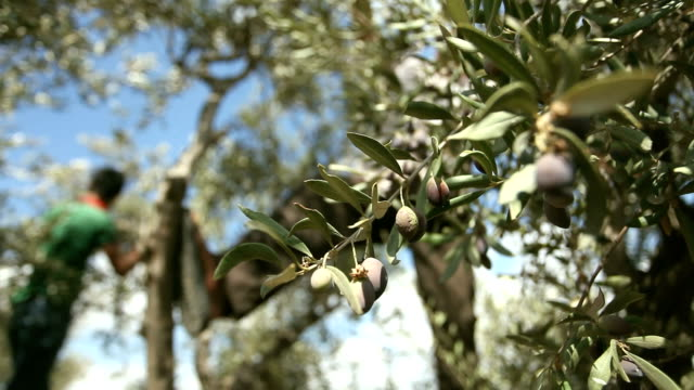 farmers harvesting olives, burqin village, jenin, palestine - harvesting stock videos and b-roll footage