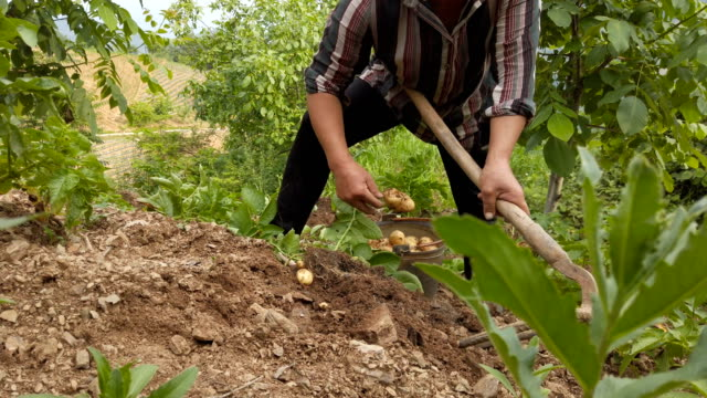 farmers harvesting potatoe,shaanxi,china. - raw potato stock videos & royalty-free footage