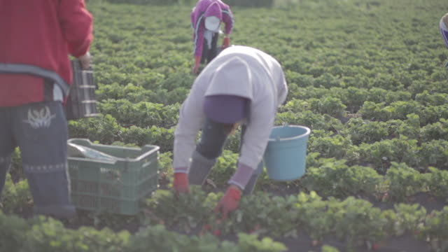 farmers harvesting strawberries - picking harvesting stock videos & royalty-free footage