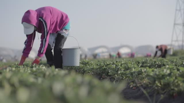 farmers harvesting strawberries - gardening glove stock videos & royalty-free footage