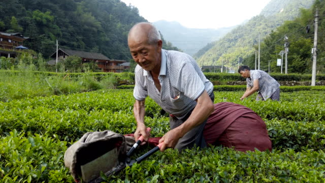farmers harvesting tea,hubei,china. - landscaped stock videos & royalty-free footage