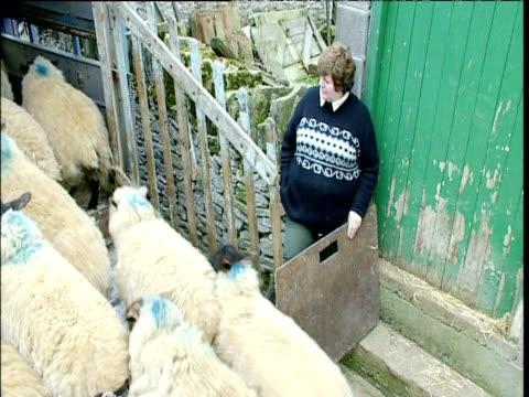 vídeos y material grabado en eventos de stock de farmers herd sheep into back of transport carrier and close pen doors yorkshire - oveja merina