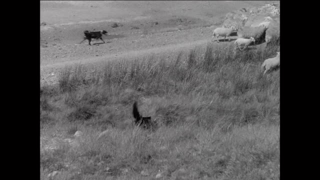 stockvideo's en b-roll-footage met montage farmers herding large flock of sheep back to farm / aberystwyth, wales - hoed