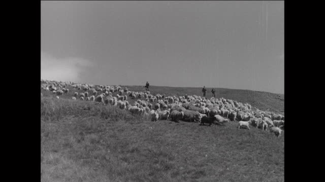 montage farmers herding large flock of sheep to water / aberystwyth, wales - herding stock-videos und b-roll-filmmaterial