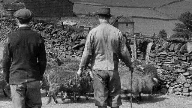 vídeos de stock e filmes b-roll de montage farmers herding sheep and sheering them / united kingdom - tosquiar