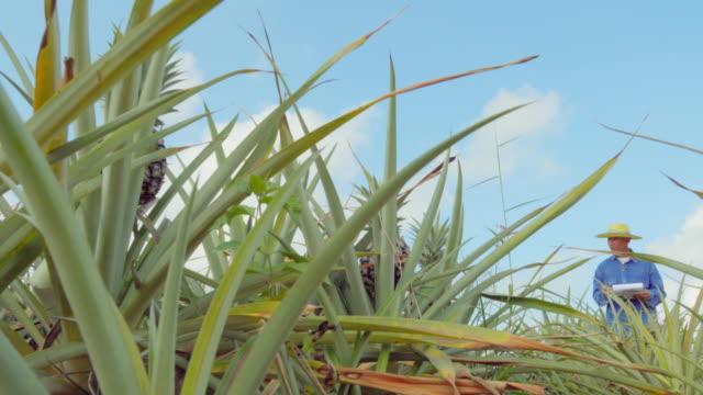 パイナップル農園の農民たち - 農学者点の映像素材/bロール