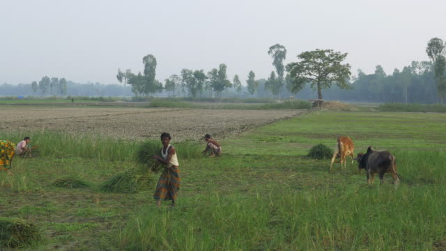 farmers in rural bangladesh harvest a failed rice crop that was destroyed my flooding attributed to climate change and contributing to their poverty - dhaka stock-videos und b-roll-filmmaterial