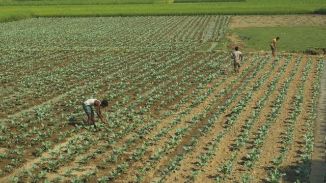 farmers in rural bangladesh irrigate fields of freshly planted cauliflower by hand  - dhoti video stock e b–roll
