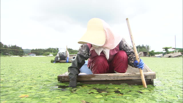 farmers in wide brimmed hats crouch in small boats to gather egg bonnet, a leaf vegetable - 秋田県点の映像素材/bロール