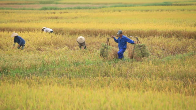 farmers is harvesting rice - hanoi stock videos and b-roll footage