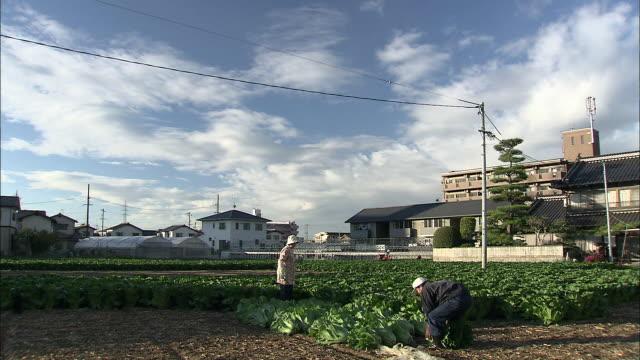 farmers pick hiroshima-na cabbages in a field near asaminami, japan. - アブラナ科点の映像素材/bロール