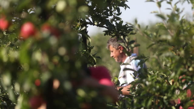 farmers picking apples from trees in an orchard in egerton kent uk on tuesday september 15 2020 - orchard stock videos & royalty-free footage