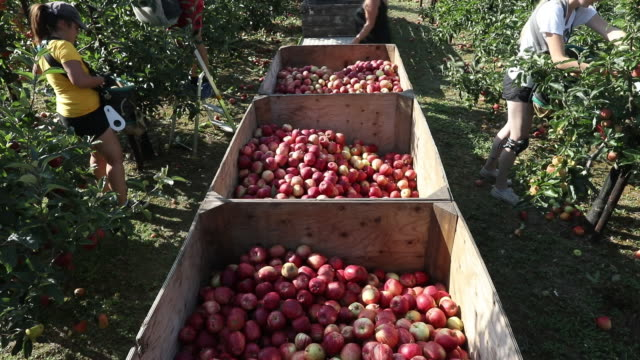 farmers picking apples in an orchard in egerton, kent, uk on tuesday, september 15, 2020. - apple fruit stock videos & royalty-free footage