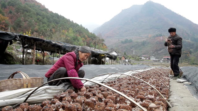 vidéos et rushes de farmers picking mushrooms - cueillir