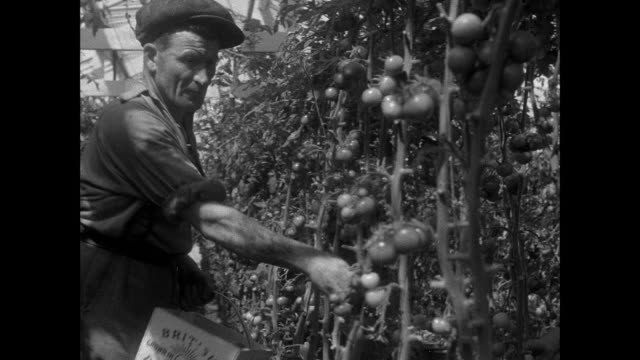montage farmers picking tomatoes and packaging them in crates / guernsey, united kingdom - channel islands england stock videos & royalty-free footage