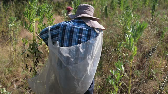 farmers picking up beans - mexico stock videos & royalty-free footage