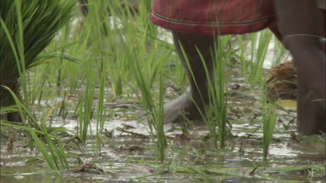 Farmers plant rice in a muddy field in India. Available in HD.