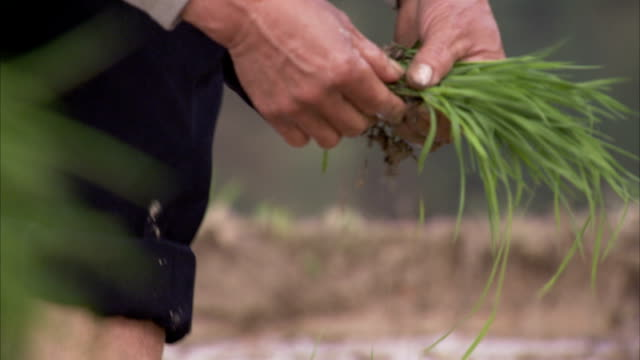 Farmers plant rice in paddies. Available in HD.