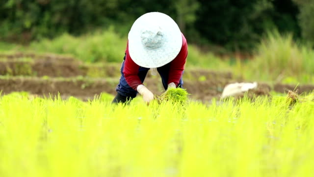 Farmers plant rice in paddy field , slow motion