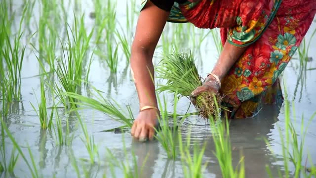 farmers planting organic rice sapling in a muddy field - india stock videos & royalty-free footage