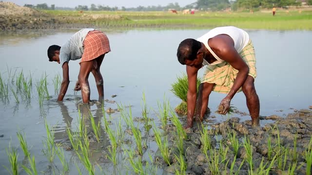 farmers planting organic rice sapling or shoots in mud water in a paddy field at a village in barpeta, india on 10 december 2020. organic farming is... - seedling stock videos & royalty-free footage